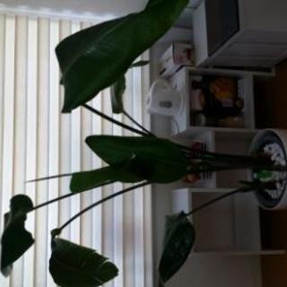 ストレリチアオーガスト 観葉植物