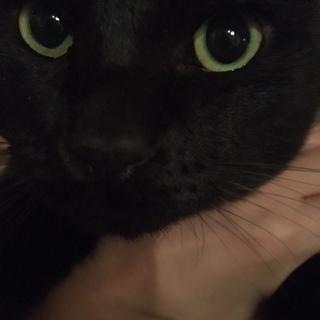1歳8ヶ月 黒猫♂ 里親募集