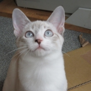 シャム系子猫「ティーダ」3か月メス