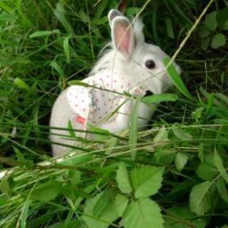 【里親さん決まりました】ミニウサギ、元気な女の子です。【ありがとう...