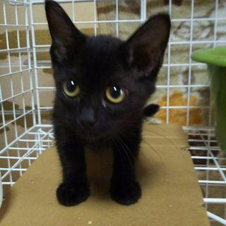 募集一時停止します🌼黒猫ちゃん、女の子、3ヶ月くらい、良くなついて...