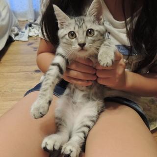 グレーキジ かわいい子猫ちゃん おてんばな女の子♪