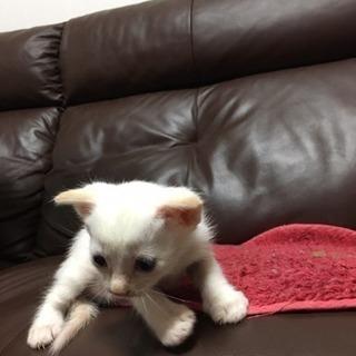 一か月の雄猫ちゃん