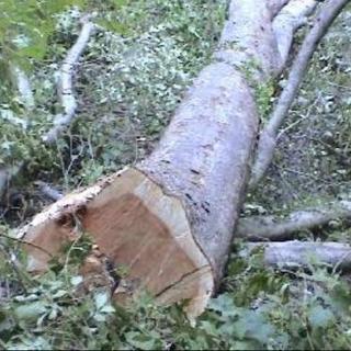 木材伐採承っております。