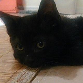 可愛い黒猫君の里親募集です