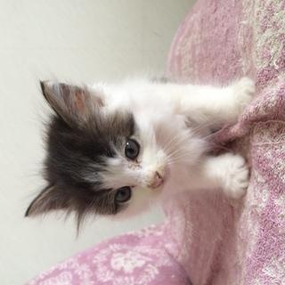 生後2カ月ぐらいの子猫です