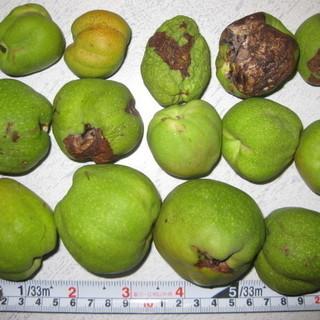 地梨 ジナシ クサボケ 草木瓜 実 27個 地梨酒に 塩尻