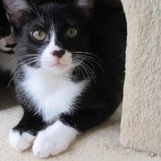 黒白ハチワレ子猫「フーガ」オス 4か月