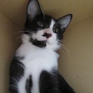 黒白ハチワレ子猫「ジューク」オス 4か月