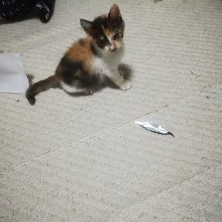 生後2ヶ月程度の三毛猫メス