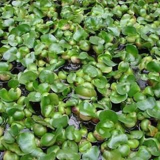 ホテイソウ 【水草:浮草、メダカの産卵床、水質維持、高水温対策】