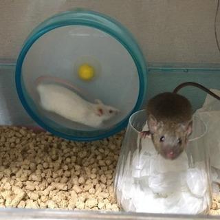 マウス3匹◆懐こい白◆芸のできる黒◆ビビりな金(金は里親決定)