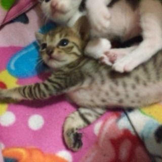 里親募集☆生後1ヶ月 仔猫  女のコ