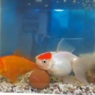金魚を貰って下さい