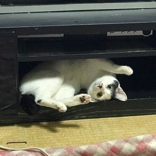 ♀猫の里親募集させていただきます - 猫
