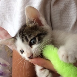 生後2.3ヶ月ぐらいの仔猫です!
