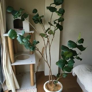 値下げ!【希少】シーグレープ   観葉植物・ガーデニング
