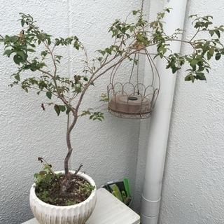 再値下げ!【希少】ジャボチカバ  観葉植物・ガーデニング