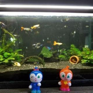 熱帯魚譲ります