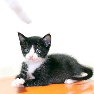 6兄妹仔猫の里親様募集★不思議ちゃんのハチワレ♀です
