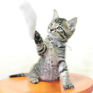 6兄妹仔猫の里親様募集★比較的おっとりしたキジトラ♀です