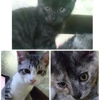 三月生まれの人懐こくて可愛い子猫3匹です!家族の一員に迎えて下さい...