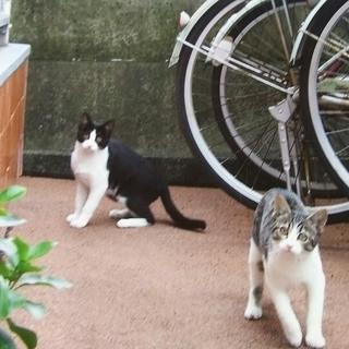 子猫の里親さん募集 生後約5ヵ月のきょうだい 白黒・しろサバ