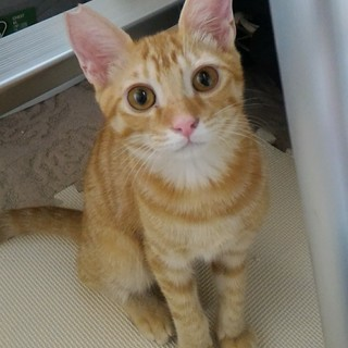 【仔猫】茶トラの男の子【3,4ヵ月】