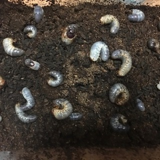 カブトムシの幼虫全60匹