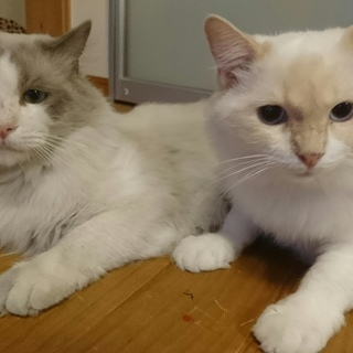 1歳と9か月の雄と、1歳と5か月の牝の、ラグドールの猫たち (血統...