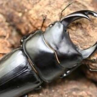 オオクワガタの幼虫 ペア