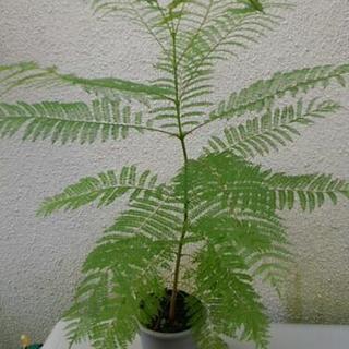 観葉植物ジャガランタ