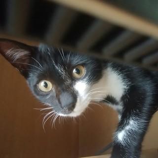 タキシードキャットの子猫ちゃんを迎え入れてくださる方