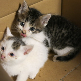 白い子猫と黒い子猫 二匹 (交渉中)