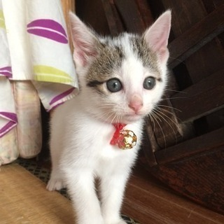 健康な保護子猫(生後7週齢位:10/16時点)