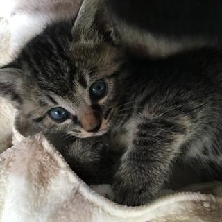 里親決定◆生後1ヵ月のキジトラの女の子