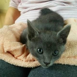 ロシアンブルーな子猫がママを呼ぶ