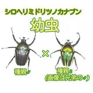 シロヘリミドリツノカナブン幼虫5頭~
