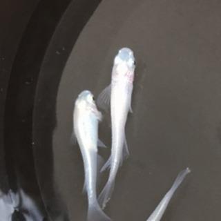 極上純白メダカ稚魚20匹