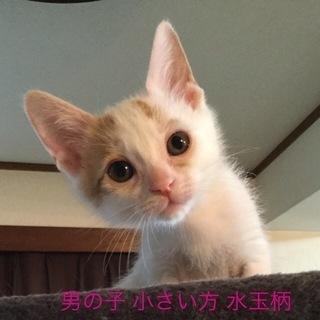 生後1カ月から1か月半★子猫の男の子兄弟