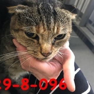 期限10/17 萩市保健所 タレ耳が可愛いキジ猫さん