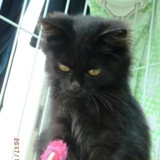 マイちゃん  2ヶ月くらいの女の子 - 猫