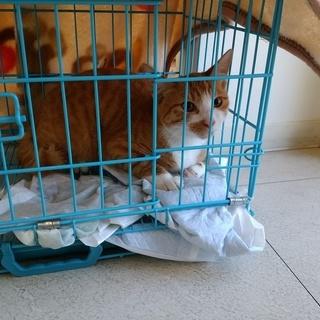 地域猫活動で手術を受けたとっても可愛い男の子、野良生活をさせたくあ...