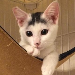 【生後3ヵ月子猫☆白キジシン】