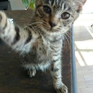 とっても人なつっこいキジトラ子猫さんです☆