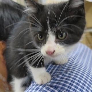 甘えん坊のハチワレ子猫の里親になってください