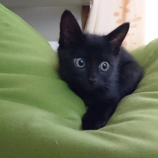 お目々クリクリ黒猫男子2ヶ月