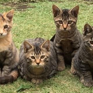 子猫4兄弟を保護しています。里親募集です。