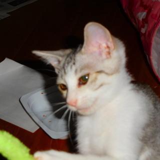 子猫の里親を募集します。4匹の子猫を保護し人に慣れてきたので里親を探しています.3匹は決まりました。 - 仙台市