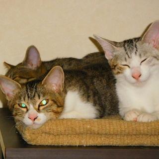 子猫の里親を募集します。4匹の子猫を保護し人に慣れてきたので里親を探しています.3匹は決まりました。 − 宮城県